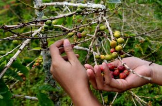 This picture taken on September 12, 2018 shows a visitor plucking cofee beans from a plant at a plantation in Toraja highland, eastern Indonesia. - For decades, there wasn't a coffee shop anywhere in Indonesia's Toraja region even as its high-quality beans grabbed top dollar on the international market. But Toraja - a lush, mountainous area on Sulawesi island - is experiencing a mini-explosion in cafés, with dozens of shops sprouting up in the region. (Photo by GOH CHAI HIN / AFP)