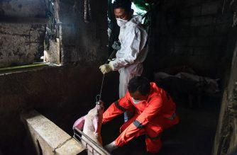 City health official conduct monitoring and testing for African Swine Fever at a backyard piggery in Manila on September  17, 2019. - Hundreds of pigs have mysteriously died in recent weeks before health officials declared that the cause of swine deaths have been attributed to the African Swine Fever. (Photo by Maria TAN / AFP)