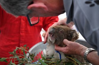 An injured Koala is looked at by a vet after it was treated for burns at a makeshift field hospital at the Kangaroo Island Wildlife Park on Kangaroo Island on January 14, 2020. - Hundreds of koalas have been rescued and brought to the park for treatment after bushfires ravaged the island off the south coast of Australia. (Photo by PETER PARKS / AFP)