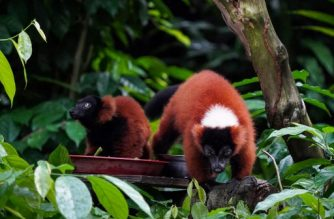 """This undated handout photo from Wildlife Reserves Singapore released on July 16, 2020 one of the twin red-ruffed lemur (L) with its mother named Minnie (R) at an enclosure at Singapore Zoo. - Twin red-ruffed lemurs have been born at Singapore Zoo, officials said July 16, in a rare event that is a boost for the endangered primates. (Photo by Handout / WILDLIFE RESERVES SINGAPORE / AFP) / -----EDITORS NOTE --- RESTRICTED TO EDITORIAL USE - MANDATORY CREDIT """"AFP PHOTO / WILDLIFE RESERVES SINGAPORE """" - NO MARKETING - NO ADVERTISING CAMPAIGNS - DISTRIBUTED AS A SERVICE TO CLIENTS - NO ARCHIVE"""