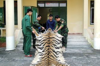 """(FILES) In this file photo taken on April 10, 2019, border patrol officials hold a confiscated tiger skin and bones while the suspect Pham Van Hiep (2nd R) looks on at a border guard station in northern Vietnam's Quang Ninh province. - Vietnam, one of Asia's biggest consumers of wildlife products, has suspended all imports of wild animal species """"dead or alive"""" and vowed to """"eliminate"""" illegal markets across the country. The directive, released on July 23, 2020 on the government website and signed by the Communist country's premier, comes after the link between the coronavirus pandemic and Chinese wildlife markets selling bats. (Photo by - / AFP)"""