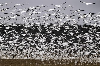 Snow geese descend upon on a farm in Ruthsburg, Maryland, on February 7, 2019. (Photo by Jim WATSON / AFP)