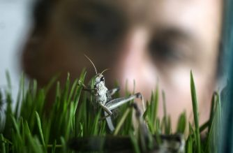 A worker at the Hargol grasshoppers breeding farm watches grasshoppers at the farm in the Kidmat Tzvi settlement in the Israeli-annexed Golan Heights on July 12, 2020. - From biblical plague to modern day protein, one Israeli firm wants to make locusts a sustainable food choice in the Holy Land and beyond. At Hargol Foodtech's farm in the Israeli-occupied Golan Heights, a rectangular enclosure that once served as a chicken coop is filled with thousands of locusts, grasshopper species that have a highly destructive swarming phase. (Photo by MENAHEM KAHANA / AFP)