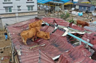 This photo taken on August 9, 2020 shows cows stranded on a rooftop after seeking refuge there during heavy flooding only to be stranded once the floodwaters receded, at a farm in Gurye, Jeolla province. - Landslides and flooding triggered by days of heavy rain in South Korea have left at least 30 people dead and 12 missing, officials said on August 9, warning of more downpours. (Photo by STR / YONHAP / AFP) / - South Korea OUT / REPUBLIC OF KOREA OUT  NO ARCHIVES  RESTRICTED TO SUBSCRIPTION USE