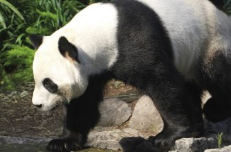 "(FILES) This undated handout file photo obtained on May 13, 2020 courtesy of the Calgary Zoo shows adult female panda Er Shun. - A pair of pandas on loan from China to a Canadian zoo are facing a food shortage as their supply of fresh bamboo dries up, officials warned. And plans to send them back to China, where bamboo is abundant and easy to access, according to a Calgary Zoo statement, have been stalled by pandemic-era changes to import and quarantine regulations. (Photo by Handout / The Calgary Zoo / AFP) / RESTRICTED TO EDITORIAL USE - MANDATORY CREDIT ""AFP PHOTO /THE CALGARY ZOO/HANDOUT "" - NO MARKETING - NO ADVERTISING CAMPAIGNS - DISTRIBUTED AS A SERVICE TO CLIENTS"
