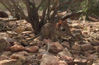 """This handout photo obtained from Global Wildlife Conservation on August 14, 2020 and taken in February 2019 at the field site Assamo in the Republic of Djibouti by Richard Heritage/Duke University Lemur Center shows the first-ever photo of a live Somali Sengi or Somali elephant shrew, one of the 25 most wanted lost species, for scientific documentation. - For half a century, many believed the Somali Sengi to be lost. But the tiny, proboscis-nosed mammal lived quietly away from humans in rocky areas of the Horn of Africa, scientists said on August 18, 2020. (Photo by Steven Heritage / Global Wildlife Conservation / AFP) / RESTRICTED TO EDITORIAL USE - MANDATORY CREDIT """"AFP PHOTO / STEVEN HERITAGE / DUKE UNIVERSITY LEMUR CENTER / GLOBAL WILDLIFE CONSERVATION"""" - NO MARKETING - NO ADVERTISING CAMPAIGNS - DISTRIBUTED AS A SERVICE TO CLIENTS / TO GO WITH AFP STORY BY AMELIE BOTTOLLIER-DEPOIS"""