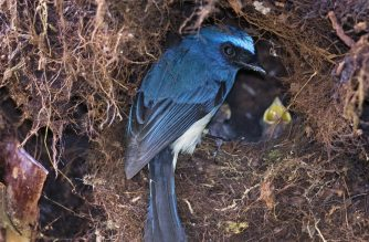 """This undated handout picture released on August 24, 2020 by the USGS, Montana Cooperative Wildlife Research Unit shows an indigo flycatcher at nest in Kinabalu Park in Sabah. - Songbirds in tropical rainforests curtail their reproduction to help them survive droughts, according to a study on August 24, 2020.  Species with longer lifespans were better able to cope with this environmental volatility than previously thought, researchers found. (Photo by Thomas E MARTIN / USGS, Montana Cooperative Wildlife Research Unit / AFP) / RESTRICTED TO EDITORIAL USE - MANDATORY CREDIT """"AFP PHOTO /USGS/MONTANA COOPERATIVE WILDLIFE RESEARCH UNIT/ THOMAS E.MARTIN"""" - NO MARKETING - NO ADVERTISING CAMPAIGNS - DISTRIBUTED AS A SERVICE TO CLIENTS"""