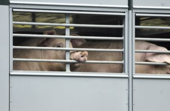 Pigs are seen in a transport truck on their way to abattoir company Toennies in Rheda-Wiedenbrueck, western Germany, on July 16, 2020. - The company resumed its production on July 16, 2020 after a month-long forced closure after hundreds of employees were tested positive on the novel coronavirus. (Photo by Ina FASSBENDER / AFP)