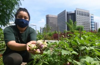 This photograph taken on September 7, 2020 shows a staff member displaying eggplants grown in a rooftop garden above the Raffles City mall in Singapore. - On the rooftop of a Singapore shopping mall, a sprawling patch of eggplants, rosemary, bananas and papayas stand in colourful contrast to the grey skyscrapers of the city-state's business district. (Photo by Roslan RAHMAN / AFP) / TO GO WITH Singapore-environment-agriculture, FOCUS by Martin Abbugao