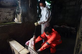 (File photo) City health official conduct monitoring and testing for African Swine Fever at a backyard piggery in Manila on September  17, 2019. - Hundreds of pigs have mysteriously died in recent weeks before health officials declared that the cause of swine deaths have been attributed to the African Swine Fever. (Photo by Maria TAN / AFP)