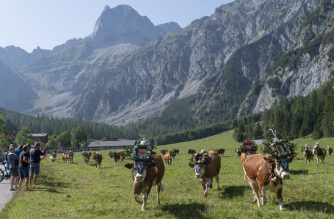 Cows decorated with bells and flowers leave their summer pastures during the annual ceremonial so-called 'Almabtrieb' (cattle drive), on September 18, 2020 at Gramai-Alm in Tyrol's Karwendel Alpine nature park near Pertisau, Austria. - With tender care, Sepp Rieser adorns the bulky heads of his docile cows with flower wreaths, adds some more fir twigs, and adjust the large bells around their necks. (Photo by JOE KLAMAR / AFP)