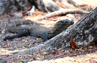 This picture taken on November 22, 2019 shows a young Komodo dragon at the Komodo national park in the Island of Komodo as Indonesian conservationists are slamming plans to turn the natural habitat of endangered Komodo dragons into a Jurassic Park-style attraction. (Photo by GOH CHAI HIN / AFP)