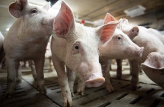 """(FILES) In this file photo taken on June 26, 2019 Pigs are seen at the Meloporc farm in Saint-Thomas de Joliette, Quebec, Canada. - Canadian health authorities on November 4 reported the country's first case of a human infected with the H1N2 virus, a rare strain of swine flu. The case, detected in the western province of Alberta in mid-October, appears to be isolated """"and there is no increased risk to Albertans at this time,"""" local health officials said in a statement. (Photo by Sebastien St-Jean / AFP)"""