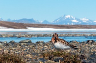 """This handout photo taken on April 24, 2018 and released on May 21, 2018 by Roland Digby WWT (Wildfowl and Wetlands Trust's) shows the spoon-billed sandpipers in Meinypil'gyno, Russia. - Animal and plant species are vanishing -- sometimes before we know they exist -- at an accelerating pace, but conservationists are pushing back against the juggernaut of mass extinction. From captive breeding to satellite tracking; restoring habitats to removing predators; shaming multinationals to nursing baby pandas and orangutans -- in all these ways, scientists and other have given doomed creatures a second chance. (Photo by Mark Simpson / Roland Digby WWT / AFP) / RESTRICTED TO EDITORIAL USE - MANDATORY CREDIT """"AFP PHOTO / ROLAND DIGBY WWT/MARK SIMPSON"""" - NO MARKETING NO ADVERTISING CAMPAIGNS - DISTRIBUTED AS A SERVICE TO CLIENTS"""