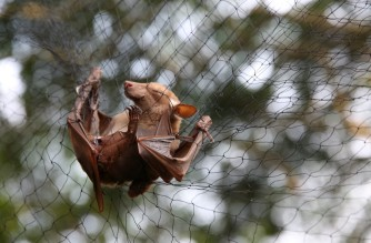 Bats are trapped in nets to be examined for possible viruses at the Franceville International Centre of Medical Research (CIRMF) is seen on June 13, 2018 in Franceville. - Bats are trapped in nets to be examined for possible viruses load at the Franceville International Centre of Medical Research (CIRMF) is seen on June 13, 2018 in Franceville. (Photo by Steeve Jordan / AFP)