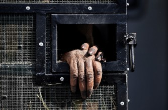 The hands of a Sumatran orangutan sitting in a cage are pictured before they are repatriated from Thailand to Indonesia after having been smuggled into the kingdom, at Suvarnabhumi Airport in Bangkok in December 17, 2020. (Photo by Lillian SUWANRUMPHA / AFP)