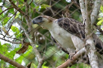 "(FILES) This file photo taken on February 17, 2016 shows a Philippine eagle named ""Pag-asa"" (Hope), the first to be bred and hatched in captivity, inside an enclosure at the Philippine Eagle Foundation (PEF) centre in Davao City on the southern island of Mindanao. - The first Philippine eagle bred from artificial insemination has died from infections just days short of its 29th birthday, conservationists said on January 8, 2021. (Photo by Ted ALJIBE / AFP)"
