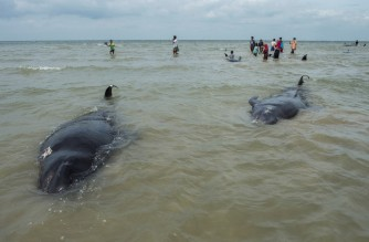 People try to save short-finned pilot whales beached in Bangkalan, Madura island on February 19, 2021, as some 49 pilot whales have died after a mass stranding on the coast of Indonesia's main island of Java that sparked a major rescue operation. (Photo by Juni Kriswanto / AFP)