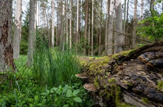 Attacked by woodwarms spruce trees are pictured in primaval parts of Bialowieza Forest on May 31, 2016 near Bialowieza. - Today, this peaceful haven is the scene of a bitter battle between environmentalists and officials over a spruce bark beetle infestation that rangers say is damaging healthy trees. (Photo by WOJTEK RADWANSKI / AFP)