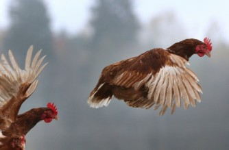 H5N8 is lethal for birds, but it had never before been reported to have spread to humans (AFP photo)