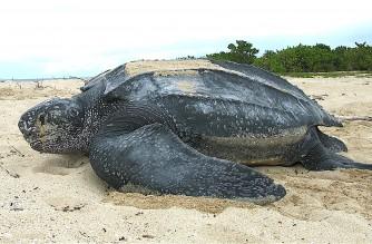 Endangered leatherback turtles hatch in Ecuador