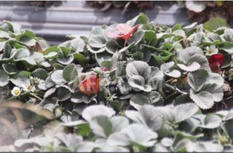 Strawberry plants covered with ashfall from Sangay volcano in Ecuador the last time that it erupted last year (Screenshot of AFP video/ Courtesy AFP)