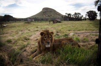 """This handout photo released by animal charity Four Paws shows the lion Saeed after being released into his new adaptive enclosure at the Lionsrock animal sanctuary in Bethlehem, South Africa, on February 26, 2018. - Saeed was born in the Magic World Zoo near Alepo in Syria in 2016. He was one of 13 animals that Four Paws rescued from the war torn zoo in July 2017. He was transfered to Al Ma'wa in Jordan in August 2017. Today he and another lion, Simba, were released into Lionsrock where they will live out the rest of their lives. (Photo by DANIEL BORN / FOUR PAWS / AFP) / RESTRICTED TO EDITORIAL USE - MANDATORY CREDIT """"AFP PHOTO / FOUR PAWS / DANIEL BORN """" - NO MARKETING NO ADVERTISING CAMPAIGNS - DISTRIBUTED AS A SERVICE TO CLIENTS"""