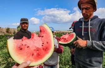 Palestinian farmers eat watermelons as they work during harvest season in Beit Lahia in the northern Gaza Strip near the border with Israel, on June 18, 2021. (Photo by MOHAMMED ABED / AFP)