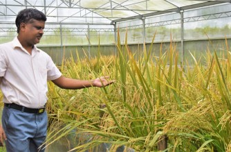 """This handout photo taken in July 2021 and received from the International Rice Research Institute (IRRI) on July 23, 2021 shows golden rice breeder Mallikarjuna Swamy examining golden rice at the IRRI transgenic screenhouse in Los Banos, Laguna province, south of Manila. - The Philippines became the world's first country on July 23 to approve the commercial production of genetically modified """"golden rice"""" that experts hope will combat childhood blindness and save lives in the developing world. (Photo by Handout / INTERNATIONAL RICE RESEARCH INSTITUTE / AFP) / -----EDITORS NOTE --- RESTRICTED TO EDITORIAL USE - MANDATORY CREDIT """"AFP PHOTO / INTERNATIONAL RICE RESEARCH INSTITUTE"""" - NO MARKETING - NO ADVERTISING CAMPAIGNS - DISTRIBUTED AS A SERVICE TO CLIENTS"""