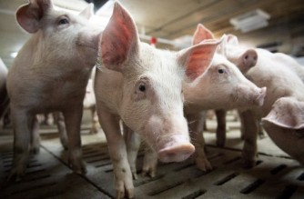 Pigs are seen at the Meloporc farm in Saint-Thomas de Joliette, Quebec, Canada, on June 26, 2019. - Canada said on June 26 that it is investigating the origin of a tainted pork shipment and bogus documents that prompted China to ban Canadian meat and further strained tense relations. (Photo by Sebastien St-Jean / AFP)