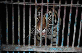 """This handout picture taken and released on August 1, 2021 by the Jakarta Government shows a Sumatran tiger locked up in a cage at the Ragunan Zoo in Jakarta, after Indonesian officials announced it was one of two tigers recovering from the Covid-19 coronavirus. (Photo by Handout / JAKARTA GIVERNMENT / AFP) / -----EDITORS NOTE --- RESTRICTED TO EDITORIAL USE - MANDATORY CREDIT """"AFP PHOTO / JAKARTA GOVERNMENT"""" - NO MARKETING - NO ADVERTISING CAMPAIGNS - DISTRIBUTED AS A SERVICE TO CLIENTS"""