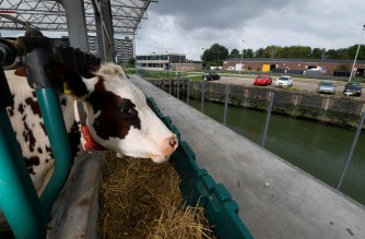 """A photo taken on August 30, 2021, shows cows feeding in a floating dairy farm in the port of Rotterdam, a possible future solution to rising waters and climate change. - In the low-lying Netherlands where land is scarce and climate change is a daily threat, the three-storey glass and steel platform aims to show the """"future of breeding"""". The buoyant bovines live on the top floor, while their milk is turned into cheese, yoghurt and butter on the middle level, and the cheese is matured at the bottom. (Photo by John THYS / AFP)"""