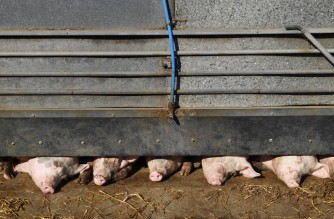 Pigs stand in their enclosure at Wicks Manor Farm in Maldon, south east England on September 22, 2021 - Britain warned Wednesday that a deal to restart captured carbon dioxide production, which is vital for the food industry but was paused owing to surging gas prices, could cost tens of millions of pounds. CO2 is used in abattoirs to stun animals before they are killed for their meat. (Photo by DANIEL LEAL-OLIVAS / AFP)