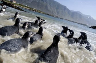 Young African Penguins head out to sea, after being released at Stony Point, Betty's Bay, about 130Km from Cape Town on January 18, 2010, in Cape Town, South Africa. A group of 63 penguins are released back into the sea after being rehabilitated at the South African Foundation for the Conservation of Coastal Birds, in Milnerton. These birds were part  of a bigger group of 300 chicks that were abandoned by their parents. Scientists are unsure of what causes the adults to leave the chicks, but suspect changes in fish stocks, predation by a growing seal population, even climate change, can contribute to this phenomenon. AFP PHOTO/RODGER BOSCH (Photo by RODGER BOSCH / AFP)
