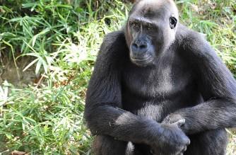 A Western Lowland Gorilla sits in its habitat at the Smithsonian's National Zoo in Washington on August 18, 2009.  AFP PHOTO/Karen BLEIER (Photo by KAREN BLEIER / AFP)