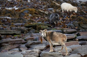 Sheep graze on the beach eating seaweed at North Ronaldsay, Orkney on September 7, 2021. - On a tiny island in Scotland's Orkneys, thousands of sheep happily munch on seaweed all winter, a unique diet that scientists say offers hope for reducing planet-warming methane emissions. The distinctive native sheep with brown, beige or black wool, learned to survive on the foreshore, eating the most commonly available food: seaweed. (Photo by Adrian DENNIS / AFP) / TO GO WITH AFP STORY BY Veronique DUPONT and Stuart GRAHAM